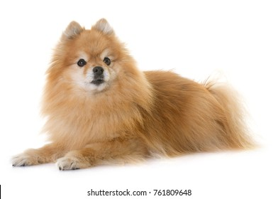 pomeranian spitz  in front of white background