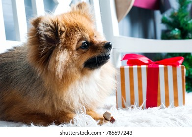 Pomeranian spitz is laying on the white plaid and eating delicacy. Concept happy holiday and food