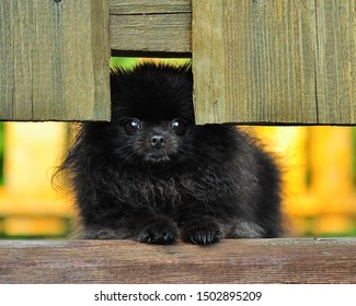 Pomeranian spitz looks through the gap in the fence