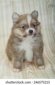 Pomeranian spitz posing
