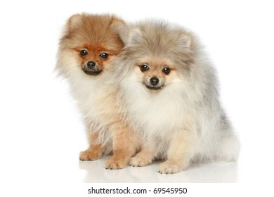 Pomeranian Spitz Puppies (5 months) on a white background