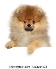 Pomeranian Spitz puppy above banner on white background. Baby animal theme