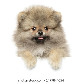 Pomeranian Spitz puppy above white banner. The theme of baby animals