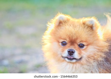 Pomeranian Images, Stock Photos & Vectors | Shutterstock
