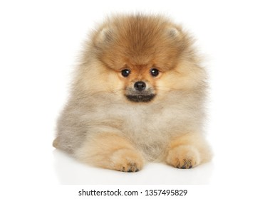 Pomeranian Spitz puppy lying on white background, front view