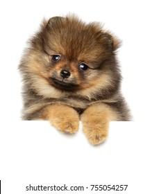 Pomeranian Spitz puppy posing above banner isolated on white background