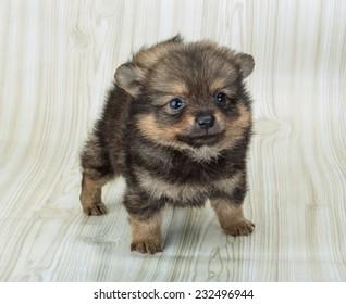 Pomeranian spitz puppy posing on the wooden background