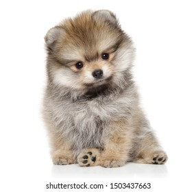 Pomeranian Spitz puppy sits in front of white background