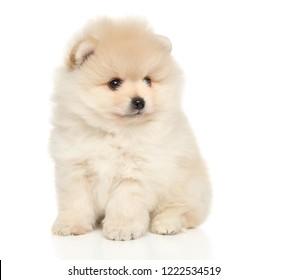 Pomeranian Spitz puppy sitting on white background