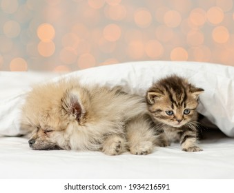 Pomeranian spitz puppy sleep with kitten under white blanket on festive background