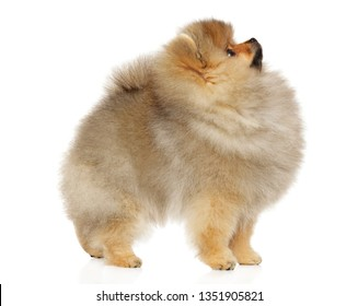 Pomeranian Spitz puppy in stand on white background. Baby animal theme, side view