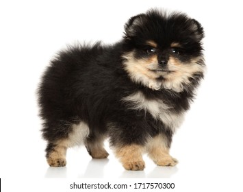 Pomeranian Spitz puppy stands on a white background