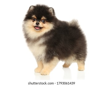 Pomeranian Spitz puppy stands in stand on a white background