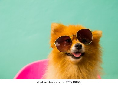 A pomeranian spitz puppy is wearing sunglasses.