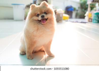 Pomeranian spitz smiling watch the evening sun.Pomeranian spitz with rounded face.