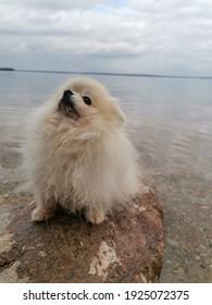 Pomeranian spitz walking and joyful