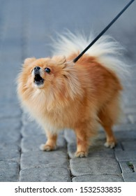 Pomeranian Spitz walking on leash with his owner. Brave and angry dog protects the owner, barks at a passerby. Fluffy pomeranian spitz-dog on walkway in the city. Lapdog and family companion