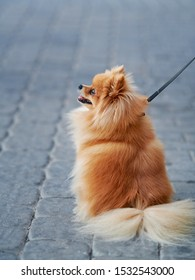 Pomeranian Spitz walking on leash with his owner. Cute pom sitting on the street. Fluffy pomeranian spitz-dog on walkway in the city. Lapdog and family companion