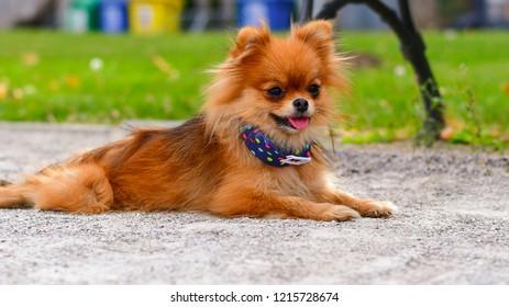 Pomeranian Wood Welcome Outdoor Sign Orange