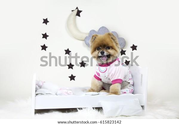 Pomeranian teddy bear getting ready to go to bed