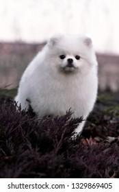 Pomeranian white dog