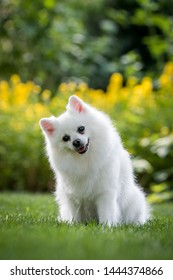 Pomeranian white dog posing in green park outside. Happy pomeranian face