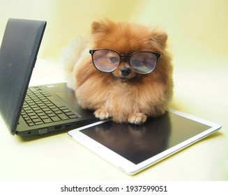 Pomeranian is working on marketing and business, has labtop and tablet.  She is happy to work.