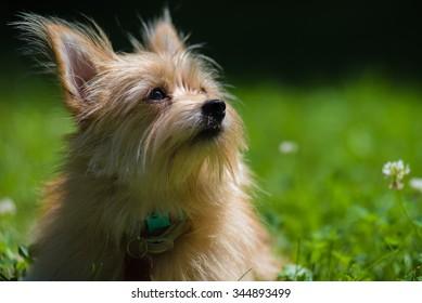 Pomeranian/Yorkshire terrier mix