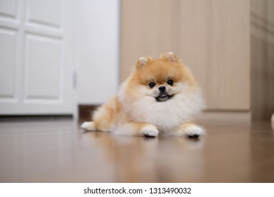 Pomeranina Smile Dog