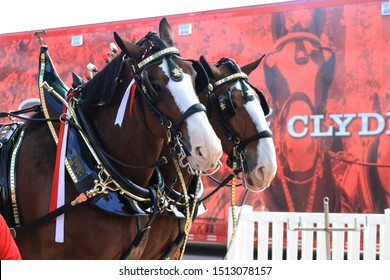 Pomona, California - September 8, 2019: Budweiser Clydesdale Horses at the Los Angeles Country Fair