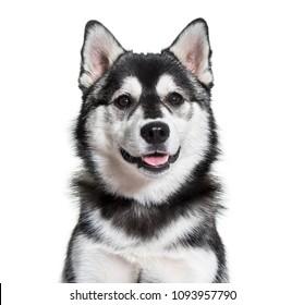 Pomsky dog portrait against white background