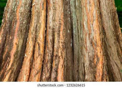 Pond cypress tree (Taxodium ascendens) tree trunk bark closeup - Topeekeegee Yugnee Park, Hollywood, Florida, USA