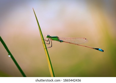 Pond Damselfly perching in grass leaf shot in morning light