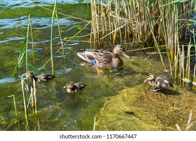 pond with ducks mom duck with ducklings, waterfowl, adult individual with cubs