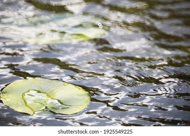 pond with duckweed, marsh plants, water lilies and victoria amazonica lilies