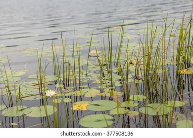 Pond with Floating Lily Pads