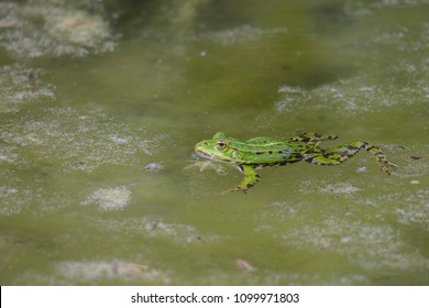 A pond frog is swimming in the algae-covered water of a pond