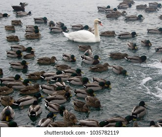 Pond full of ducks swimming with one stand out white swan. Perfect photo for stand out marketing or market differentiation
