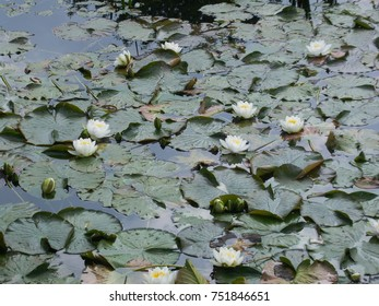A Pond Full of Lillypads