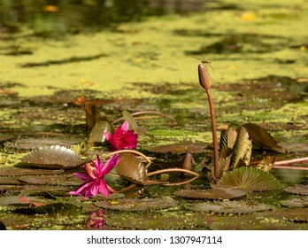 Pond with lily pads. Dragonfly sits on water lily. Wetland Center at Sungei Buloh Wetland Reserve.