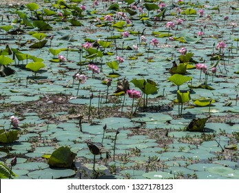 A pond with Lotuses in Shri Lanka