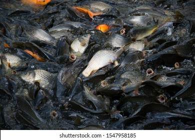The pond is overflowing with fish