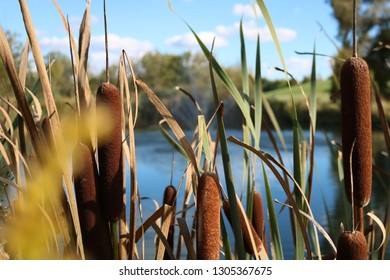 Pond with some cat tails in the foreground.