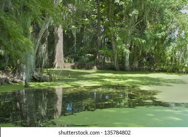 A pond in a southern cypress swamp in the deep south.