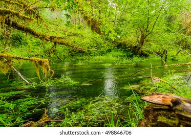 pond and trees covered with moss in the temperate Hoh Rain Forest.,Olympic National Park, Washington State, USA