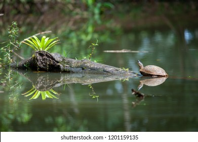 Pond with a turtle in tropical rainforest, Costa Rica
