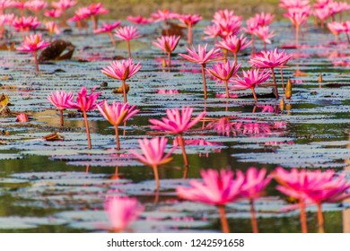 Pond with water lilies in Sundarbans, Bangladesh