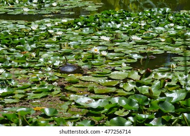 Pond with water plants in the Huntington botanical garden. San Marino, CA.