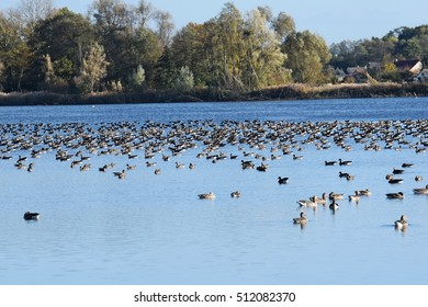 A pond where geese gather