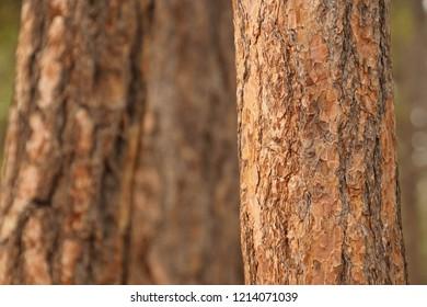 Ponderosa pine bark detail  ( Pinus ponderosa )Lava Island, Deschutes River Trail, Bend, Oregon